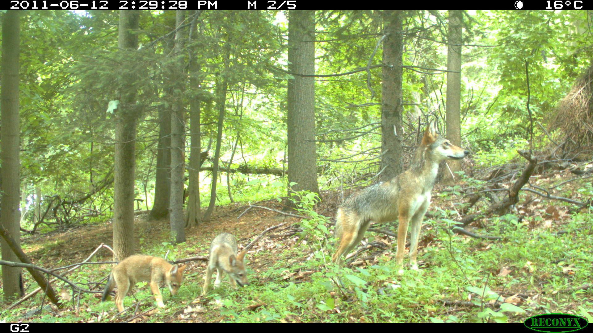 coyotes on camera trap